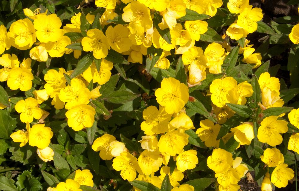evening primrose flowers